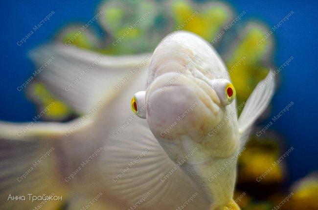 Вот такими чудесными снимками закончился наш поход в океанариум! Насколько все-таки чудесны эти прекрасные создания! Чувствуется характер каждого.   Эта рыбка - нарцисс фото 2