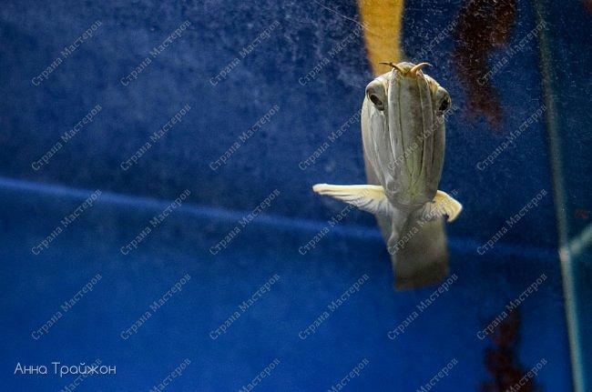 Вот такими чудесными снимками закончился наш поход в океанариум! Насколько все-таки чудесны эти прекрасные создания! Чувствуется характер каждого.   Эта рыбка - нарцисс фото 3