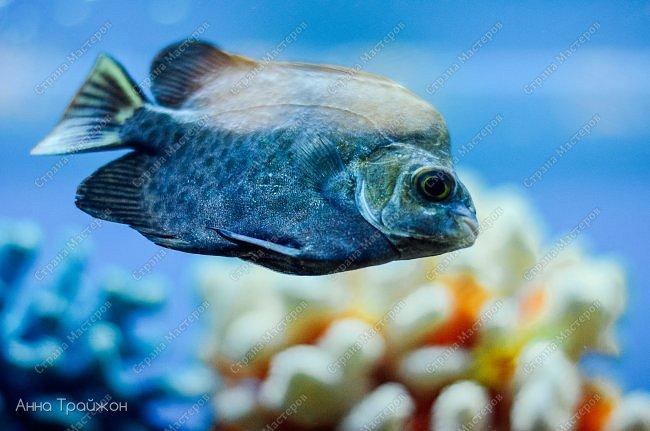 Вот такими чудесными снимками закончился наш поход в океанариум! Насколько все-таки чудесны эти прекрасные создания! Чувствуется характер каждого.   Эта рыбка - нарцисс фото 6