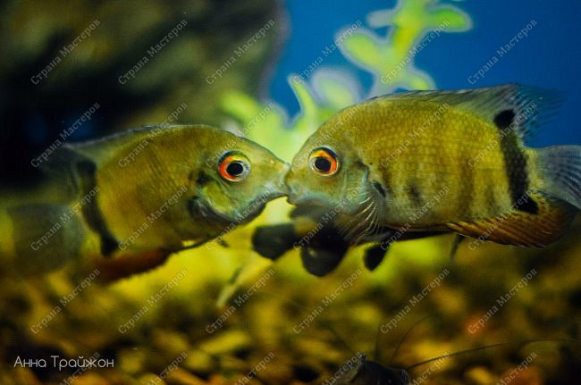 Вот такими чудесными снимками закончился наш поход в океанариум! Насколько все-таки чудесны эти прекрасные создания! Чувствуется характер каждого.   Эта рыбка - нарцисс фото 8