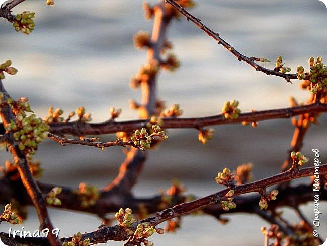 Жить  с нежностью в душе такое наслаждение  В ней множество оттенков и волшебных чувств  Где сила, слабость, радость, вдохновение  Забота, искренность, душевность и уют ... ( Вечная мелодия Любви) Нашла такие строки в Интернете...красиво..как сама Весна!  И у нас весна..всё вокруг цветёт и пахнет. . Фотографии даже не сортировала и не выбирала..все хороши...поэтому и  писать много не буду!  фото 12