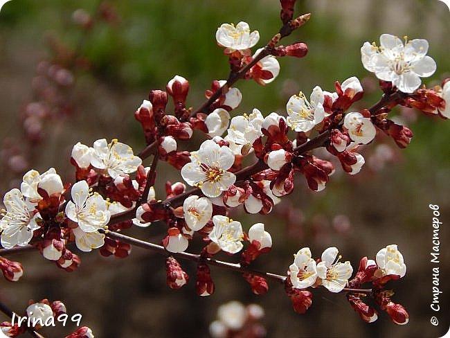 Жить  с нежностью в душе такое наслаждение  В ней множество оттенков и волшебных чувств  Где сила, слабость, радость, вдохновение  Забота, искренность, душевность и уют ... ( Вечная мелодия Любви) Нашла такие строки в Интернете...красиво..как сама Весна!  И у нас весна..всё вокруг цветёт и пахнет. . Фотографии даже не сортировала и не выбирала..все хороши...поэтому и  писать много не буду!  фото 23