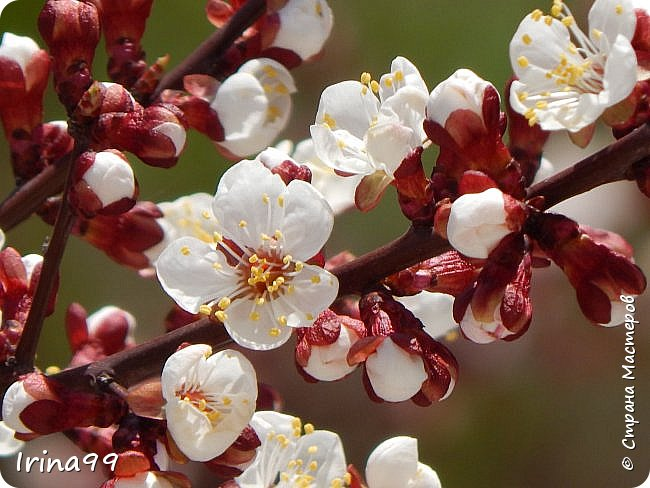 Жить  с нежностью в душе такое наслаждение  В ней множество оттенков и волшебных чувств  Где сила, слабость, радость, вдохновение  Забота, искренность, душевность и уют ... ( Вечная мелодия Любви) Нашла такие строки в Интернете...красиво..как сама Весна!  И у нас весна..всё вокруг цветёт и пахнет. . Фотографии даже не сортировала и не выбирала..все хороши...поэтому и  писать много не буду!  фото 15