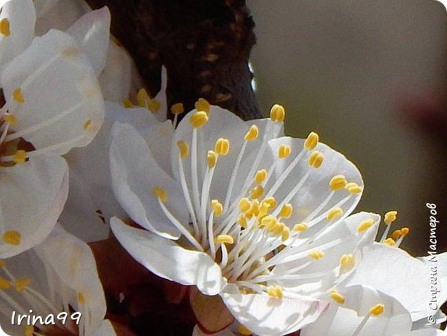 Жить  с нежностью в душе такое наслаждение  В ней множество оттенков и волшебных чувств  Где сила, слабость, радость, вдохновение  Забота, искренность, душевность и уют ... ( Вечная мелодия Любви) Нашла такие строки в Интернете...красиво..как сама Весна!  И у нас весна..всё вокруг цветёт и пахнет. . Фотографии даже не сортировала и не выбирала..все хороши...поэтому и  писать много не буду!  фото 14