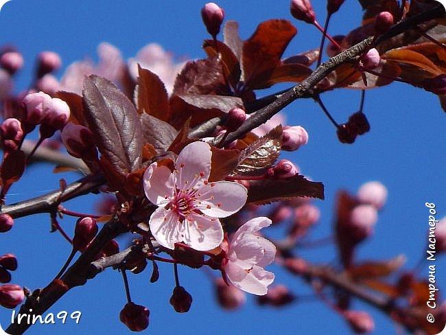 Жить  с нежностью в душе такое наслаждение  В ней множество оттенков и волшебных чувств  Где сила, слабость, радость, вдохновение  Забота, искренность, душевность и уют ... ( Вечная мелодия Любви) Нашла такие строки в Интернете...красиво..как сама Весна!  И у нас весна..всё вокруг цветёт и пахнет. . Фотографии даже не сортировала и не выбирала..все хороши...поэтому и  писать много не буду!  фото 2