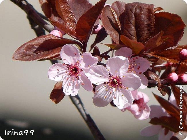 Жить  с нежностью в душе такое наслаждение  В ней множество оттенков и волшебных чувств  Где сила, слабость, радость, вдохновение  Забота, искренность, душевность и уют ... ( Вечная мелодия Любви) Нашла такие строки в Интернете...красиво..как сама Весна!  И у нас весна..всё вокруг цветёт и пахнет. . Фотографии даже не сортировала и не выбирала..все хороши...поэтому и  писать много не буду!  фото 4