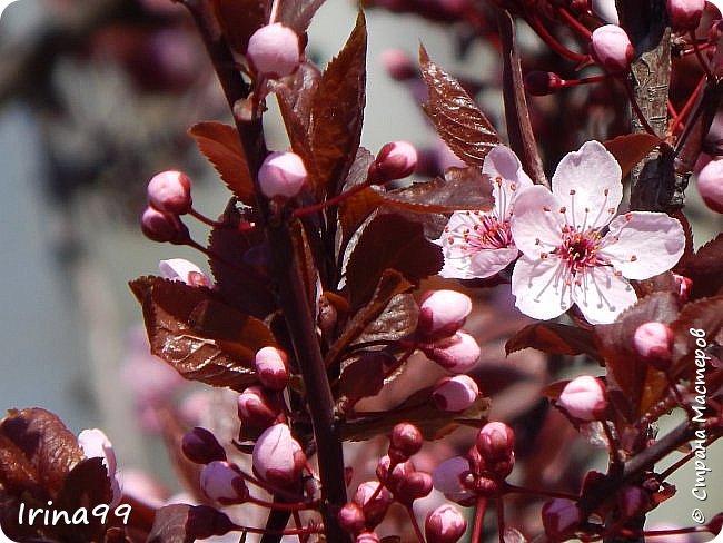 Жить  с нежностью в душе такое наслаждение  В ней множество оттенков и волшебных чувств  Где сила, слабость, радость, вдохновение  Забота, искренность, душевность и уют ... ( Вечная мелодия Любви) Нашла такие строки в Интернете...красиво..как сама Весна!  И у нас весна..всё вокруг цветёт и пахнет. . Фотографии даже не сортировала и не выбирала..все хороши...поэтому и  писать много не буду!  фото 5