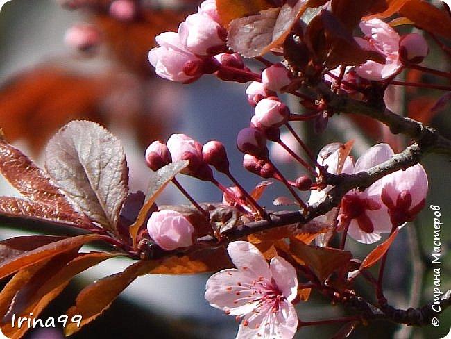Жить  с нежностью в душе такое наслаждение  В ней множество оттенков и волшебных чувств  Где сила, слабость, радость, вдохновение  Забота, искренность, душевность и уют ... ( Вечная мелодия Любви) Нашла такие строки в Интернете...красиво..как сама Весна!  И у нас весна..всё вокруг цветёт и пахнет. . Фотографии даже не сортировала и не выбирала..все хороши...поэтому и  писать много не буду!  фото 32