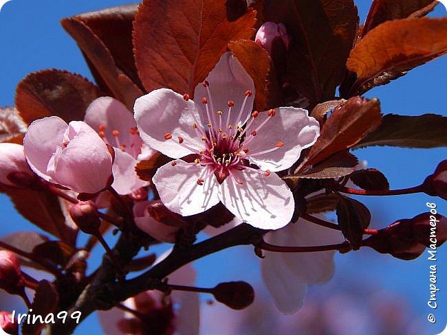 Жить  с нежностью в душе такое наслаждение  В ней множество оттенков и волшебных чувств  Где сила, слабость, радость, вдохновение  Забота, искренность, душевность и уют ... ( Вечная мелодия Любви) Нашла такие строки в Интернете...красиво..как сама Весна!  И у нас весна..всё вокруг цветёт и пахнет. . Фотографии даже не сортировала и не выбирала..все хороши...поэтому и  писать много не буду!  фото 1