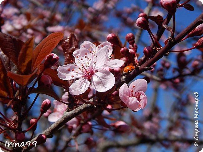 Жить  с нежностью в душе такое наслаждение  В ней множество оттенков и волшебных чувств  Где сила, слабость, радость, вдохновение  Забота, искренность, душевность и уют ... ( Вечная мелодия Любви) Нашла такие строки в Интернете...красиво..как сама Весна!  И у нас весна..всё вокруг цветёт и пахнет. . Фотографии даже не сортировала и не выбирала..все хороши...поэтому и  писать много не буду!  фото 11