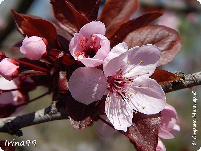 Жить  с нежностью в душе такое наслаждение  В ней множество оттенков и волшебных чувств  Где сила, слабость, радость, вдохновение  Забота, искренность, душевность и уют ... ( Вечная мелодия Любви) Нашла такие строки в Интернете...красиво..как сама Весна!  И у нас весна..всё вокруг цветёт и пахнет. . Фотографии даже не сортировала и не выбирала..все хороши...поэтому и  писать много не буду!  фото 6