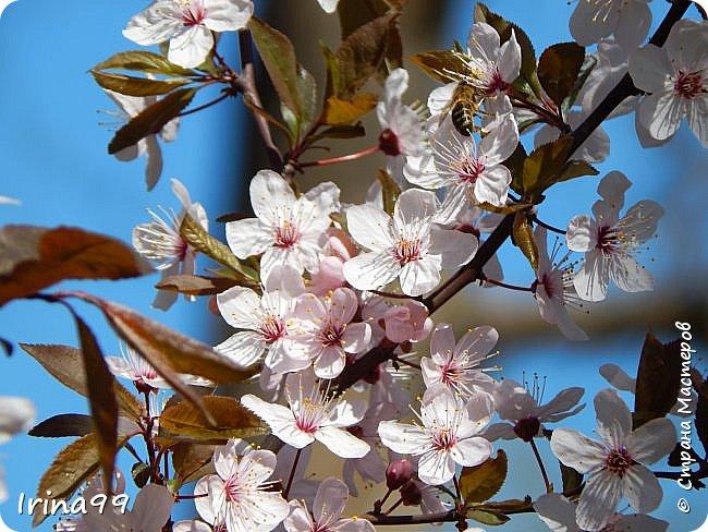 Жить  с нежностью в душе такое наслаждение  В ней множество оттенков и волшебных чувств  Где сила, слабость, радость, вдохновение  Забота, искренность, душевность и уют ... ( Вечная мелодия Любви) Нашла такие строки в Интернете...красиво..как сама Весна!  И у нас весна..всё вокруг цветёт и пахнет. . Фотографии даже не сортировала и не выбирала..все хороши...поэтому и  писать много не буду!  фото 7
