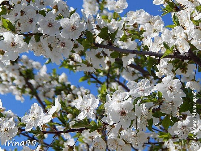 Жить  с нежностью в душе такое наслаждение  В ней множество оттенков и волшебных чувств  Где сила, слабость, радость, вдохновение  Забота, искренность, душевность и уют ... ( Вечная мелодия Любви) Нашла такие строки в Интернете...красиво..как сама Весна!  И у нас весна..всё вокруг цветёт и пахнет. . Фотографии даже не сортировала и не выбирала..все хороши...поэтому и  писать много не буду!  фото 25