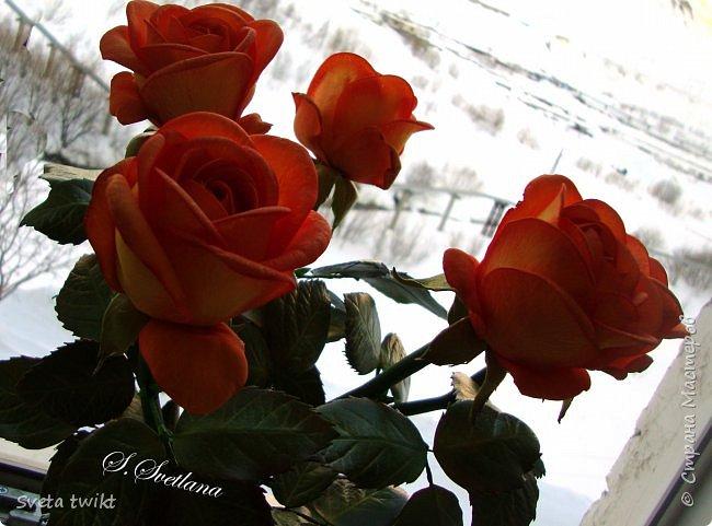 Давно я не была в стране и ничего не выкладывала И вот решила показать вам свой букет роз.Самой очень нравятся розочки.Фотографий будет много и без комментариев.Просто посмотрите.Приятного просмотра. фото 9