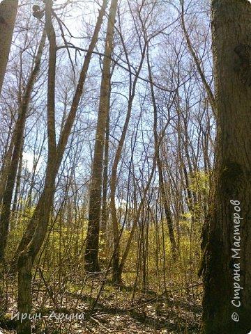 Здравствуйте жители СМ! Приглашаю всех на прогулку в первомайский лес.  В субботу и воскресенье моросил дождик, а понедельник порадовал солнышком.  В лесу пока только у черемухи зеленый наряд. фото 13