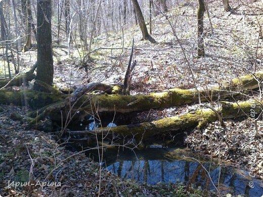 Здравствуйте жители СМ! Приглашаю всех на прогулку в первомайский лес.  В субботу и воскресенье моросил дождик, а понедельник порадовал солнышком.  В лесу пока только у черемухи зеленый наряд. фото 3