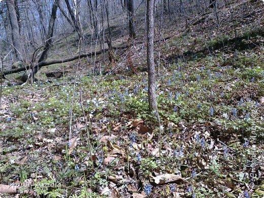 Здравствуйте жители СМ! Приглашаю всех на прогулку в первомайский лес.  В субботу и воскресенье моросил дождик, а понедельник порадовал солнышком.  В лесу пока только у черемухи зеленый наряд. фото 2