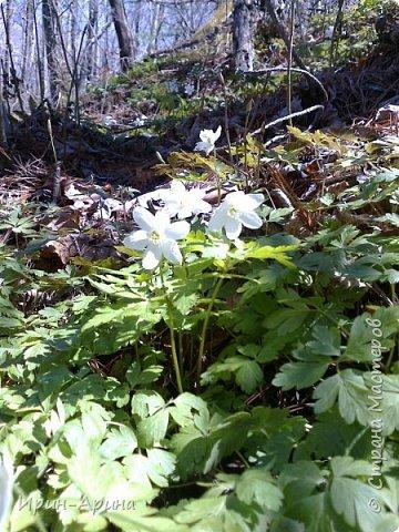 Здравствуйте жители СМ! Приглашаю всех на прогулку в первомайский лес.  В субботу и воскресенье моросил дождик, а понедельник порадовал солнышком.  В лесу пока только у черемухи зеленый наряд. фото 6