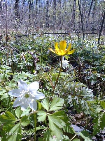 Здравствуйте жители СМ! Приглашаю всех на прогулку в первомайский лес.  В субботу и воскресенье моросил дождик, а понедельник порадовал солнышком.  В лесу пока только у черемухи зеленый наряд. фото 7