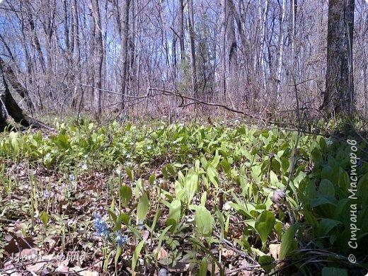 Здравствуйте жители СМ! Приглашаю всех на прогулку в первомайский лес.  В субботу и воскресенье моросил дождик, а понедельник порадовал солнышком.  В лесу пока только у черемухи зеленый наряд. фото 14