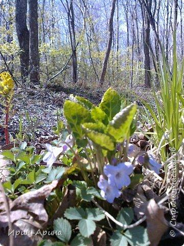 Здравствуйте жители СМ! Приглашаю всех на прогулку в первомайский лес.  В субботу и воскресенье моросил дождик, а понедельник порадовал солнышком.  В лесу пока только у черемухи зеленый наряд. фото 12