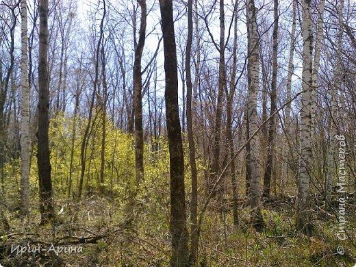 Здравствуйте жители СМ! Приглашаю всех на прогулку в первомайский лес.  В субботу и воскресенье моросил дождик, а понедельник порадовал солнышком.  В лесу пока только у черемухи зеленый наряд. фото 1
