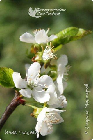 """Разве можно пройти спокойно мимо цветущих деревьев, без желания запечатлеть их цветение) Кто """" в теме"""", тот меня поймет:) Я не смогла. Веточка цветущей вишни из холодного фарфора. Как буду лепить вторую,обязательно отсниму процесс.   фото 7"""