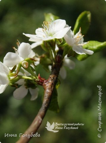"""Разве можно пройти спокойно мимо цветущих деревьев, без желания запечатлеть их цветение) Кто """" в теме"""", тот меня поймет:) Я не смогла. Веточка цветущей вишни из холодного фарфора. Как буду лепить вторую,обязательно отсниму процесс.   фото 3"""