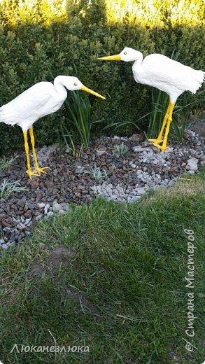 Доброе время суток , друзья! Вот такие цапли у меня поселились во дворе... фото 3