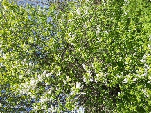 Еще только первая декада мая, а природа уже принарядилась в яркие краски весны и я приглашаю Вас на прогулку в весенний лес. Лес отогрелся и все зазеленело в теплых лучах солнца. фото 4