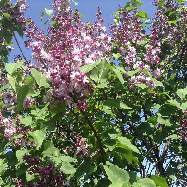 Сирень цветёт не вся ещё, но пару сортов уже распускается... фото 3