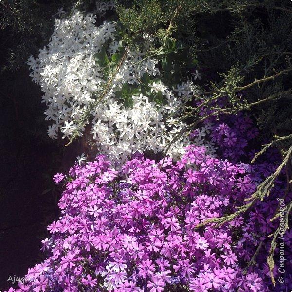 Сирень цветёт не вся ещё, но пару сортов уже распускается... фото 4