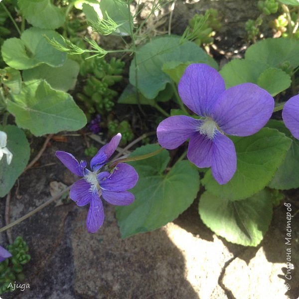 Сирень цветёт не вся ещё, но пару сортов уже распускается... фото 9