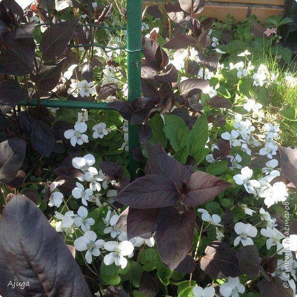 Сирень цветёт не вся ещё, но пару сортов уже распускается... фото 11