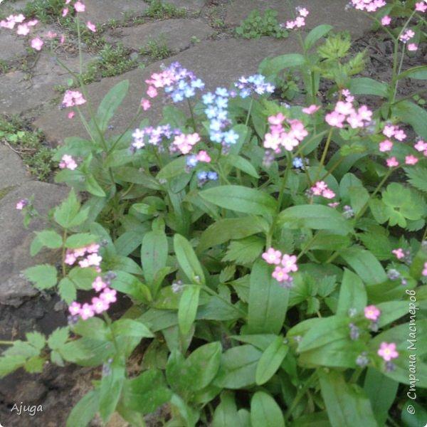 Сирень цветёт не вся ещё, но пару сортов уже распускается... фото 14