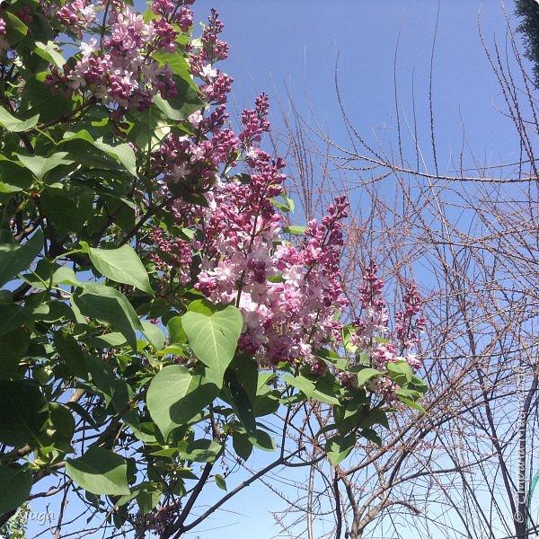 Сирень цветёт не вся ещё, но пару сортов уже распускается... фото 2