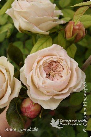 Английские розы из холодного фарфора. фото 12