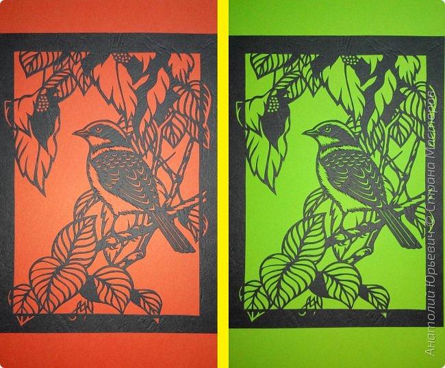 """Всем добрый день! Вашему вниманию новая открытка с птичкой.  -  Тигровый сорокопут  (лат. Lanius tigrinus) — маленькая птица отряда воробьиных, которая принадлежит роду сорокопуты. Этот вид сорокопутов получил своё имя из-за тигрообразной окраски оперения  красновато-коричневая спинка с чёрным поперечным рисунком. -  Обитает в лесистых местностях восточной Азии. В России гнездится только на юге Приморья, куда прилетает в начале июня. Встречается достаточно редко, поэтому включён в перечень объектов животного мира России, нуждающихся в особом внимании. Гнёзда строит на деревьях и кустарниках, откладывает три — шесть яиц. -  Как и другие сорокопуты, он питается насекомыми, мелкими пресмыкающимися и мелкими птицами и млекопитающими. -  Эскиз для """"вырезалки"""" выполнен, изменён и доработан по цветной работе китайского художника Zeng Xiao Lian. Размер - 12х16см. фото 5"""