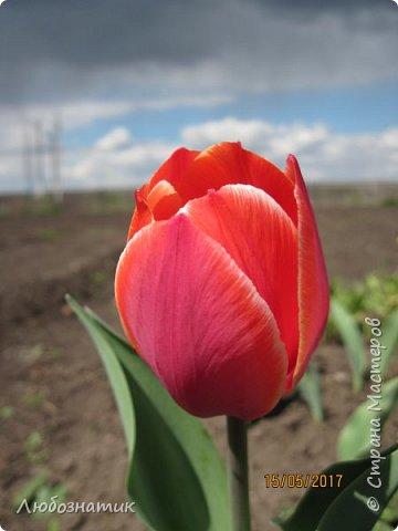 Есть такая пословица: Март с водой, апрель с травой, а май с цветами.  И действительно, каждый год я проверяю,  и всё сходиться. Каждый год весна укладывается в эту пословицу и успевает, так удивительно... Какая бы снежная зима не была, на сколько сугробы высоки не были - всё вовремя, всё как в пословице...  Хочу показать вам свой  огород весной Зацвели тюльпаны...   фото 1