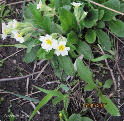 Есть такая пословица: Март с водой, апрель с травой, а май с цветами.  И действительно, каждый год я проверяю,  и всё сходиться. Каждый год весна укладывается в эту пословицу и успевает, так удивительно... Какая бы снежная зима не была, на сколько сугробы высоки не были - всё вовремя, всё как в пословице...  Хочу показать вам свой  огород весной Зацвели тюльпаны...   фото 11