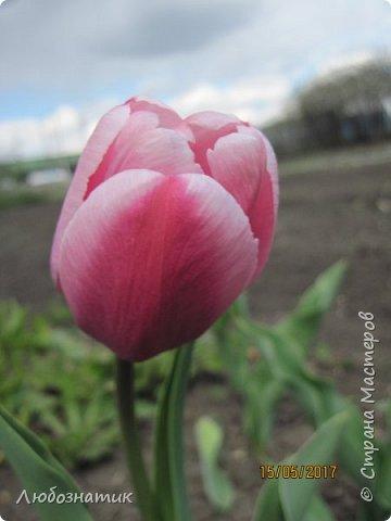 Есть такая пословица: Март с водой, апрель с травой, а май с цветами.  И действительно, каждый год я проверяю,  и всё сходиться. Каждый год весна укладывается в эту пословицу и успевает, так удивительно... Какая бы снежная зима не была, на сколько сугробы высоки не были - всё вовремя, всё как в пословице...  Хочу показать вам свой  огород весной Зацвели тюльпаны...   фото 3