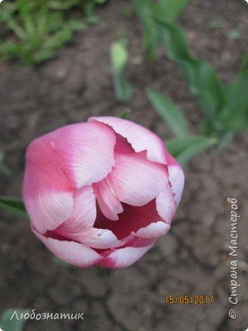 Есть такая пословица: Март с водой, апрель с травой, а май с цветами.  И действительно, каждый год я проверяю,  и всё сходиться. Каждый год весна укладывается в эту пословицу и успевает, так удивительно... Какая бы снежная зима не была, на сколько сугробы высоки не были - всё вовремя, всё как в пословице...  Хочу показать вам свой  огород весной Зацвели тюльпаны...   фото 4