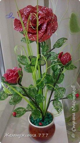 Кустик роз.  фото 2