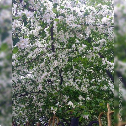 Сегодня у меня прекрасное весеннее настроение, которым хочу поделиться с вами, обитатели Страны Мастеров! Любимая моя пора весны - это цветение яблони и черемухи)   Милая нарядная солнечная яблоня! Аромат чарующий льётся в небеса! Так легко и радостно вдруг на сердце стало мне! И весна вдохнула вновь веру в чудеса! Розовые, белые лепестки - цветочки! В платье подвенечном, как же хороша, Яблонька вся светится! Нежные листочки! Я замру под деревцем! И поёт душа! Улыбнусь задорно! Посмотрю с восторгом! Не налюбоваться мне трепетной красой! Выйду в сад навстречу лучезарной зорьке, И умоюсь с веточек чистою росой! Поклонюсь я яблоньке, прошепчу ей нежное... Отзовётся деревце солнечным теплом! И любовь лучистая, и любовь безбрежная Засияет ласковым радужным цветком!  Кабанова Елена