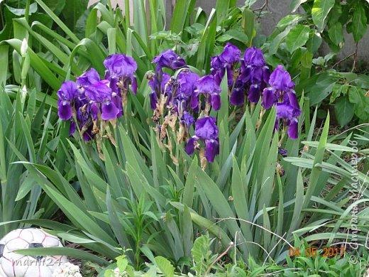 ... Изысканно- волшебные цветы Небесно- голубым огнем в саду пылают. Их нежные воздушные черты Изяществом своим поэтов вдохновляют.  Их листья - словно лезвия меча, Сражают строгостью и совершенством линий. И я стою, взволнованно шепча, Стихи об ирисе среди гвоздик и цинний.  Ты, ирис, - рыцарь голубых кровей, Стоишь один средь лезвий безмятежно, Храня в душе огонь любви своей, Любви таинственной и бесконечно-нежной ...  ( Марьяна ) фото 15