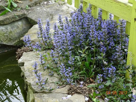 ... Изысканно- волшебные цветы Небесно- голубым огнем в саду пылают. Их нежные воздушные черты Изяществом своим поэтов вдохновляют.  Их листья - словно лезвия меча, Сражают строгостью и совершенством линий. И я стою, взволнованно шепча, Стихи об ирисе среди гвоздик и цинний.  Ты, ирис, - рыцарь голубых кровей, Стоишь один средь лезвий безмятежно, Храня в душе огонь любви своей, Любви таинственной и бесконечно-нежной ...  ( Марьяна ) фото 20