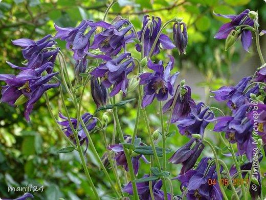 ... Изысканно- волшебные цветы Небесно- голубым огнем в саду пылают. Их нежные воздушные черты Изяществом своим поэтов вдохновляют.  Их листья - словно лезвия меча, Сражают строгостью и совершенством линий. И я стою, взволнованно шепча, Стихи об ирисе среди гвоздик и цинний.  Ты, ирис, - рыцарь голубых кровей, Стоишь один средь лезвий безмятежно, Храня в душе огонь любви своей, Любви таинственной и бесконечно-нежной ...  ( Марьяна ) фото 17