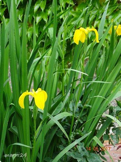 ... Изысканно- волшебные цветы Небесно- голубым огнем в саду пылают. Их нежные воздушные черты Изяществом своим поэтов вдохновляют.  Их листья - словно лезвия меча, Сражают строгостью и совершенством линий. И я стою, взволнованно шепча, Стихи об ирисе среди гвоздик и цинний.  Ты, ирис, - рыцарь голубых кровей, Стоишь один средь лезвий безмятежно, Храня в душе огонь любви своей, Любви таинственной и бесконечно-нежной ...  ( Марьяна ) фото 11