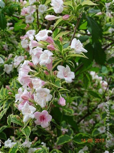 ... Изысканно- волшебные цветы Небесно- голубым огнем в саду пылают. Их нежные воздушные черты Изяществом своим поэтов вдохновляют.  Их листья - словно лезвия меча, Сражают строгостью и совершенством линий. И я стою, взволнованно шепча, Стихи об ирисе среди гвоздик и цинний.  Ты, ирис, - рыцарь голубых кровей, Стоишь один средь лезвий безмятежно, Храня в душе огонь любви своей, Любви таинственной и бесконечно-нежной ...  ( Марьяна ) фото 13