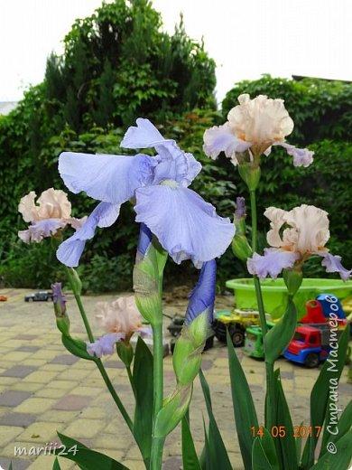 ... Изысканно- волшебные цветы Небесно- голубым огнем в саду пылают. Их нежные воздушные черты Изяществом своим поэтов вдохновляют.  Их листья - словно лезвия меча, Сражают строгостью и совершенством линий. И я стою, взволнованно шепча, Стихи об ирисе среди гвоздик и цинний.  Ты, ирис, - рыцарь голубых кровей, Стоишь один средь лезвий безмятежно, Храня в душе огонь любви своей, Любви таинственной и бесконечно-нежной ...  ( Марьяна ) фото 8